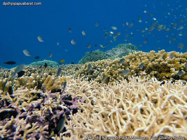 Terumbu karang di Pulau Mansinam, foto freediving