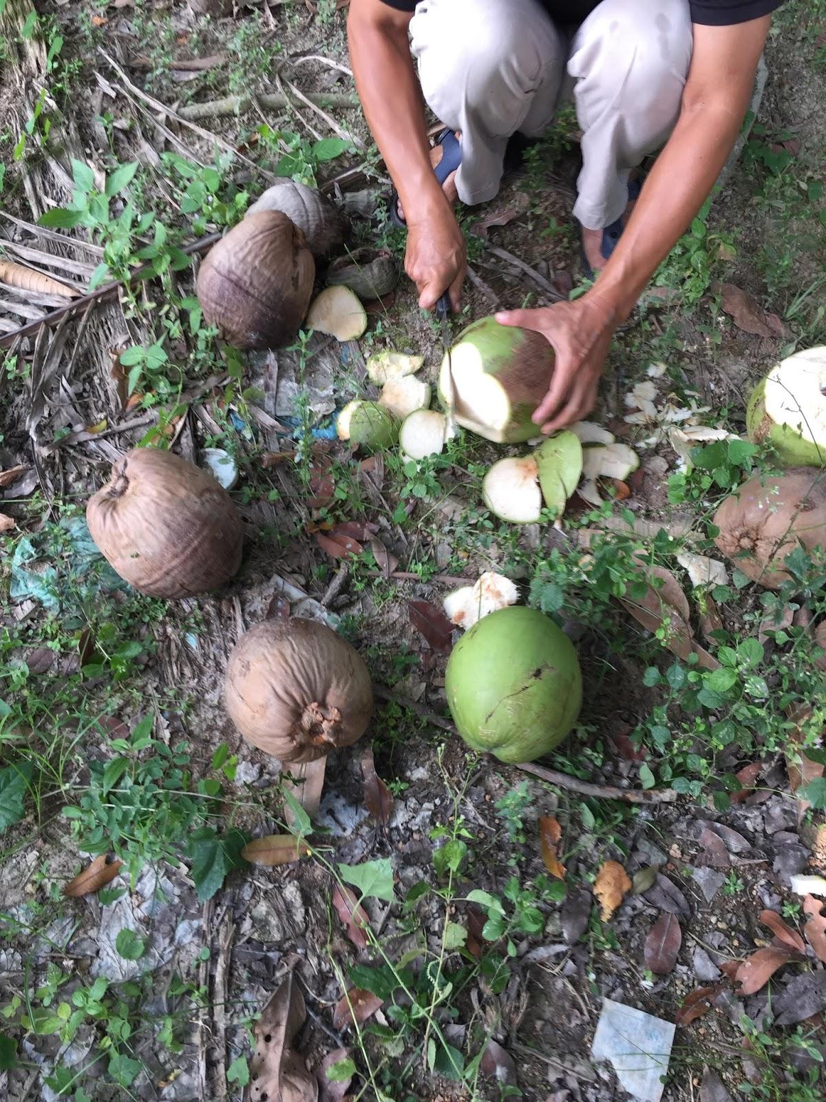 khasiat air kelapa untuk wanita, khasiat air kelapa, hasil alam banyak khasiat, balik kampung