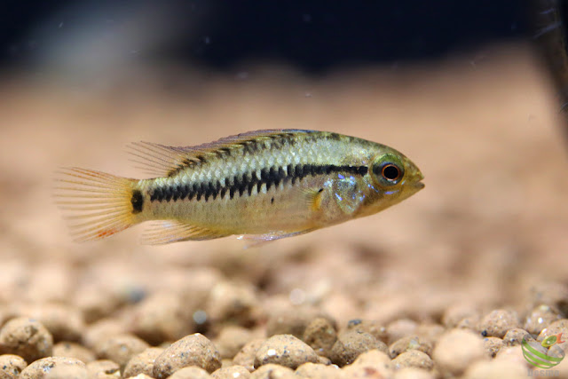 Apistogramma Viejita formⅠ / from Rio Guarrojo in Colombia F1