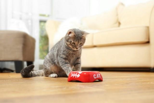 Những điều bạn nên làm để giúp bé mèo đang ốm không bỏ ăn