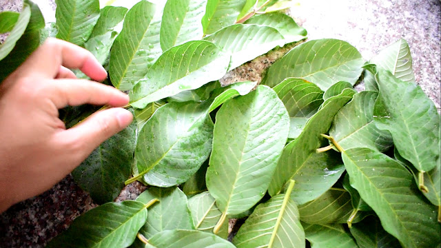 Selection Guava Leaves
