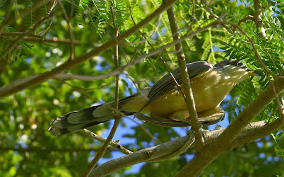 Birds of Tobago : Mangrove Cuckoo (Coccyzus minor)