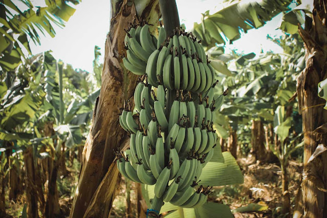 songkok dari pelepah pisang, songkok, pelepah pisang