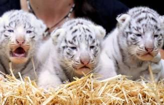 get tiger cubs for sale