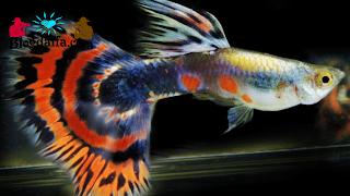 Ciri-ciri Ikan Guppy Jantan