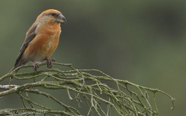 Parrot Crossbills at Hollesley Common