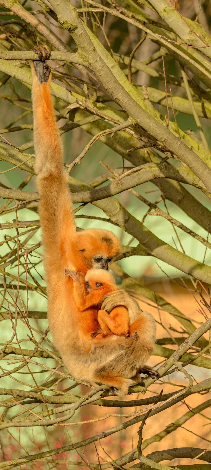 Gibbon mother and child embrace.