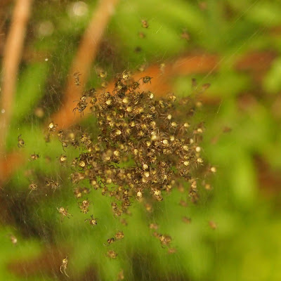 the baby orb spiders disperse
