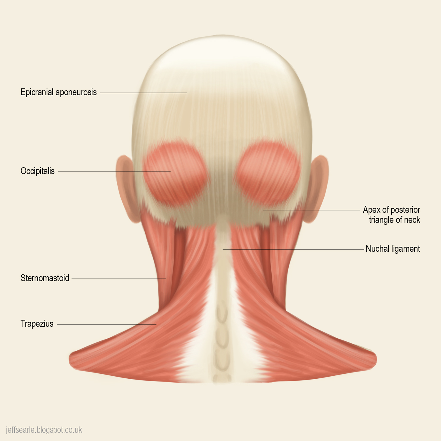 Anatomy of back of head and neck