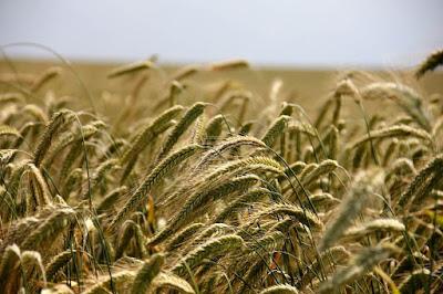 10 Manfaat Rumput Gandum Untuk Kesehetan