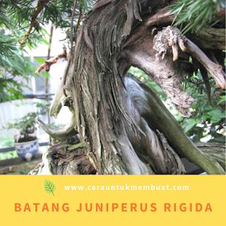 Batang Juniperus rigida