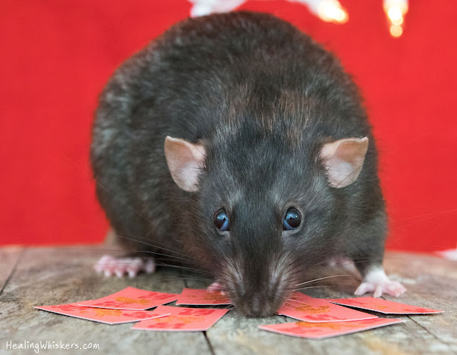 Franklin the therapy rat celebrating the year of the rat
