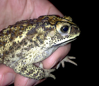 Duttaphrynus melanostictus, Asian Common Toad