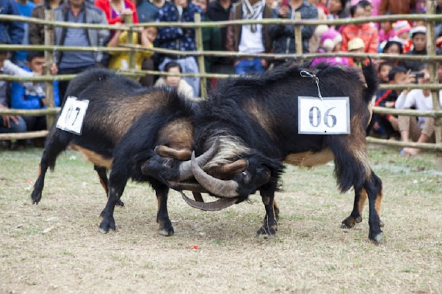 Goat fighting festival in Ha Giang 6