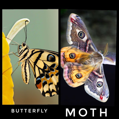 Abdomen-of-butterfly-and-moth