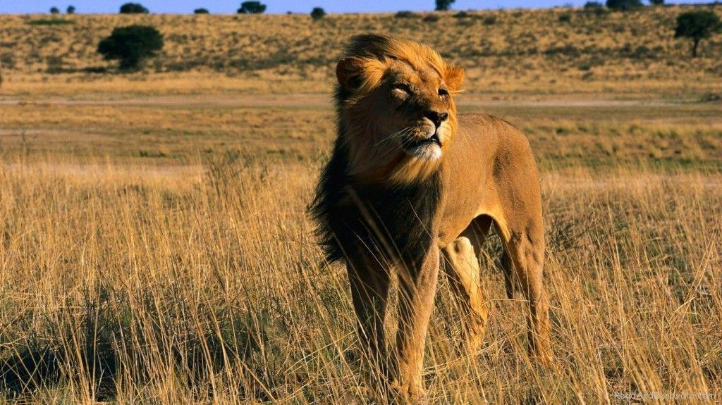 Latest Lion King Male Africa Animal Cat Wallpapers