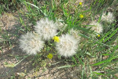 cutleaf vipergrass seed heads