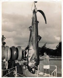Ejemplar capturado de tiburón de boca ancha