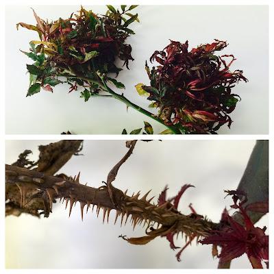 Kako bolest napreduje, lišće postane vrlo malo, peteljke se skraćuju, a većina bočnih pupova raste stvarajući kratke, intenzivno crvene izbojke.