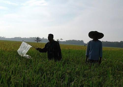 Sertu Mirwan Dampingi Petani Halau Hama Burung Pipit di Desa Tanjung Pasir