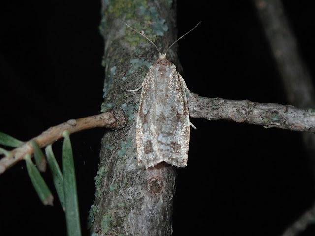 Choristoneura sp