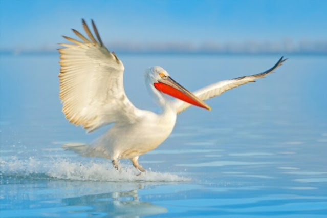 A dalmatian pelican enjoyable on the water