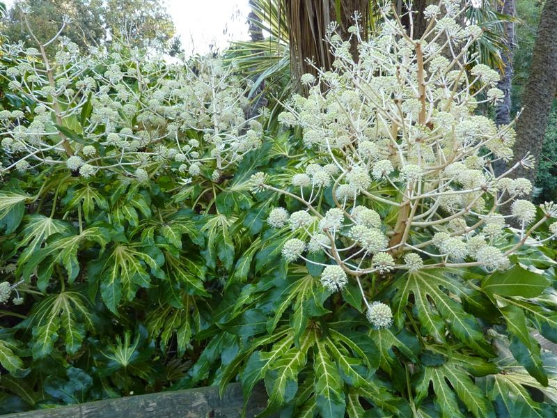Fatsia japonica in bloom