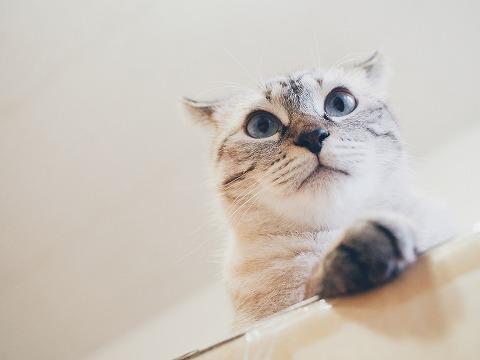 耳が反り返ってるシャムトラ猫