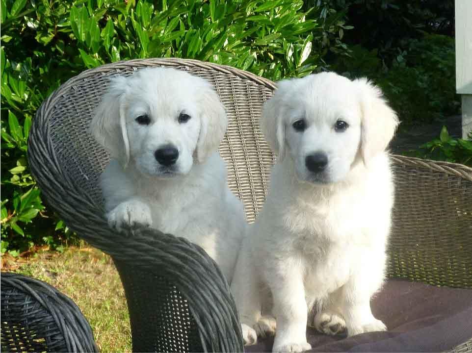 golden retriever chiots, race de chien, les animaux de la compagnie, animaux de compagnie, chien de compagnie, races de chiens, chiot,