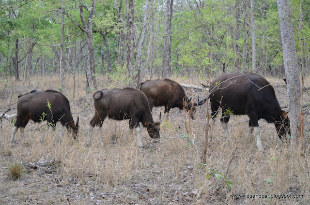 Herd of Indian Bison Gaur Bos gaurus