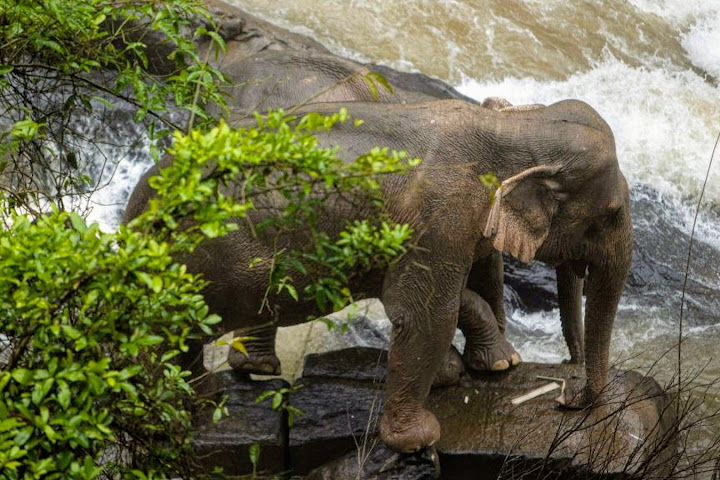 Thai elephant deaths: Do elephants risk their lives to save each other? — Satang.info