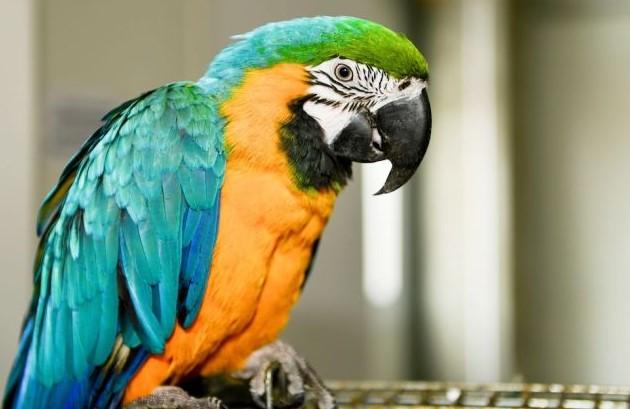 Cerita Burung Beo Kuak Perselingkuhan Majikannya, Begini Caranya!