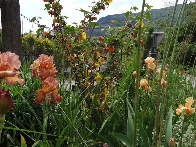 Floraisons 2016 de nos grands iris barbus et Bilan - Page 5 DSC07843