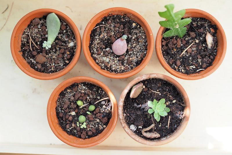 Bouture cactus