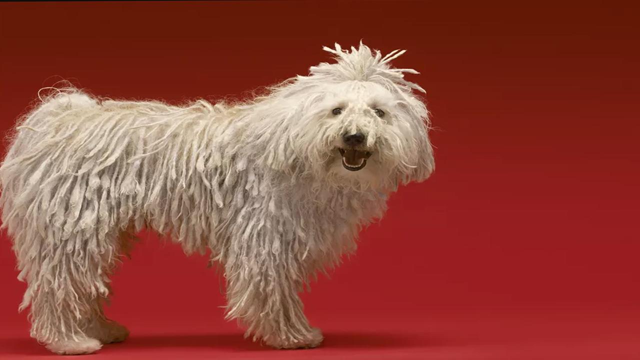 Chinois à crête  Profil de la race canine
