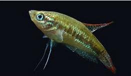 Pygmy Gourami, Ikan hias air tawar terindah,  ikan hias dalam aquarium