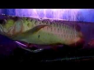 Penyakit Jamuran Pada Ikan Arwana