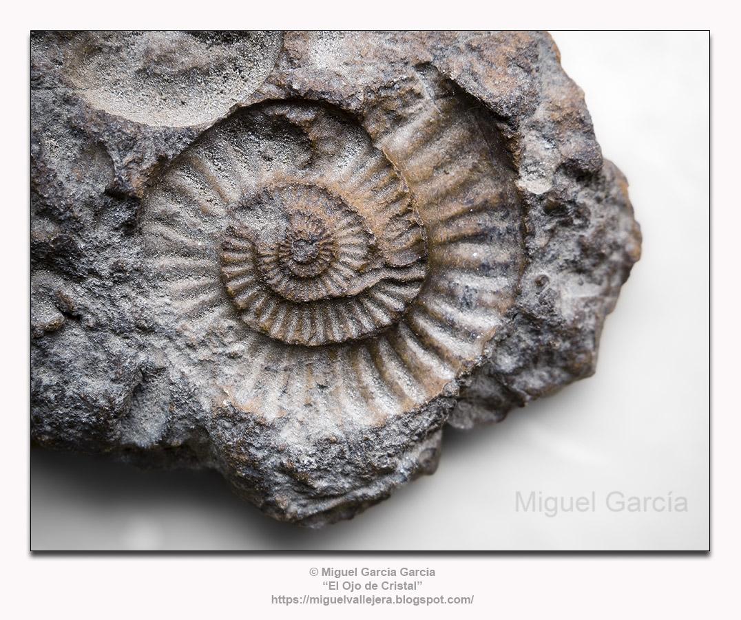 Impresión fosilizada de Arietites (100 millones de años).