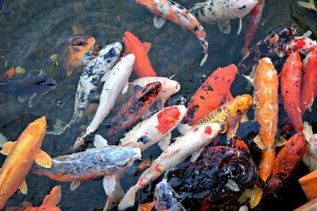 Cara Mudah Budidaya Alami Ikan Koi