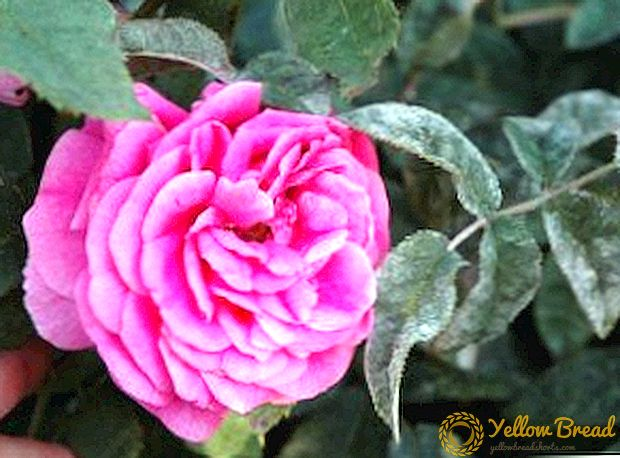 Cara Menanam Dan Merawat Bunga Mawar Agar Rajin Berbunga