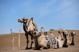 Kamelsafari på Gran Canaria