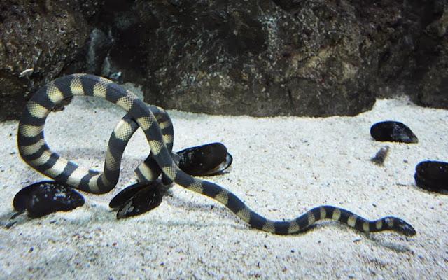 Serpente marinha de bico