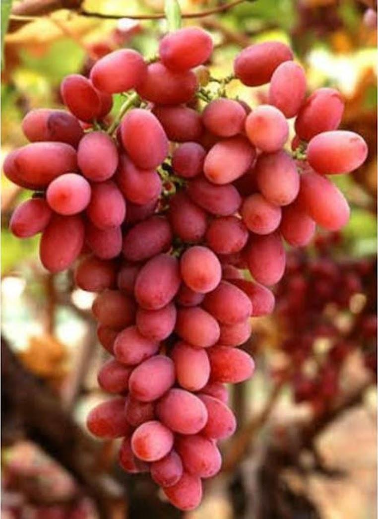 Bibit anggur import jenis autumn pink sedles Jakarta