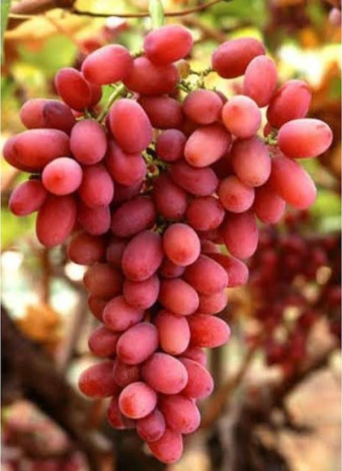 Bibit anggur import jenis autumn pink sedles Lubuklinggau