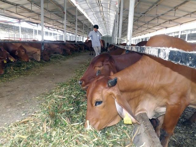Bò Úc tại trang trại Kiều Phương.
