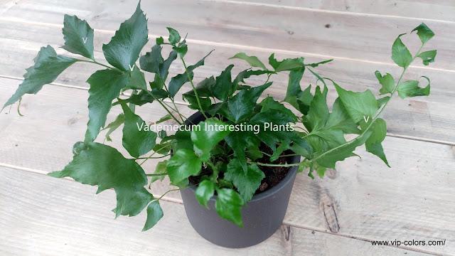 rośliny zimozielone, paproć domowa,