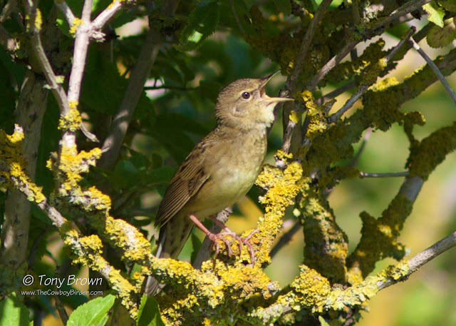 Gropper, Singing, Rainham, RSPB