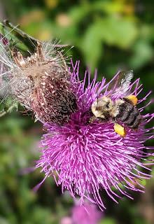 bumblebee on swamp thistle