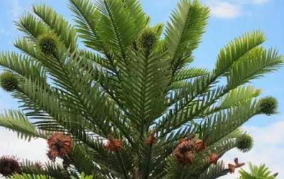 Wollemi Pine, Australia