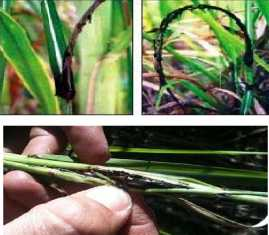 Sugarcane diseases and their management